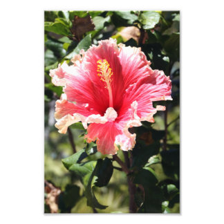 Peach and Pink Hibiscus Tropical Flower Photo