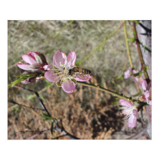 PEACH BLOSSOMS WITH HONEY BEE PHOTO