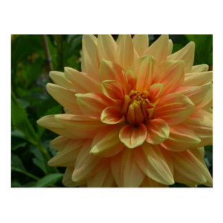 Peach Dahlia Postcard