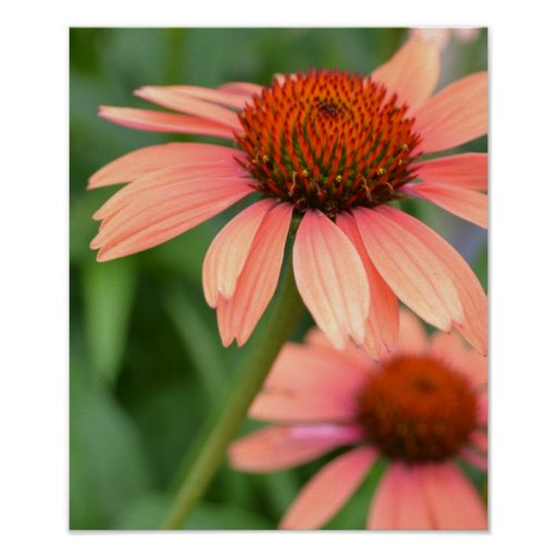 Peach Echinacea Flowers Poster