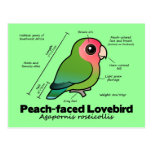 Peach-faced Lovebird Statistics Postcard