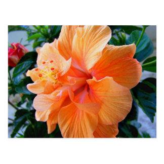 Peach Hibiscus Postcard