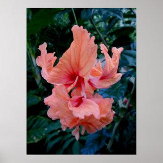 Peach Hybrid Hibiscus Poster