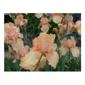 Peach Iris Postcard