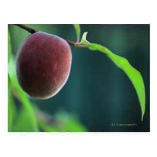 Peach on a peach tree postcard
