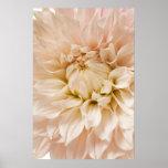 Peach, Pink, White, & Cream Dahlia - Dahlias Poster