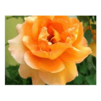 Peach Rose 3  Soft Focus Postcard