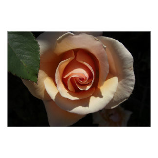 Peach Rose Large Posters Prints