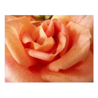 Peach Rose Postcard