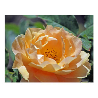 Peach Rose Postcard