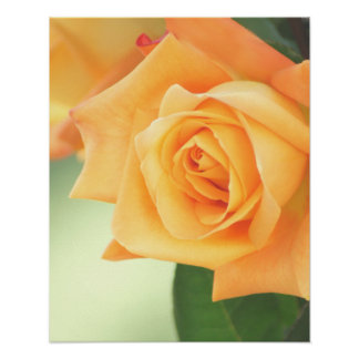 Peach Rose Poster- choose size Poster