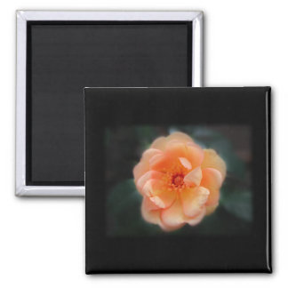 Peach - Yellow rose, on black. Magnet