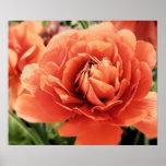 Peachy Ranunculus Flower Poster