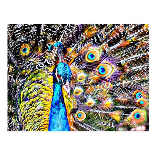 peacock and feathers artistic graphic post cards