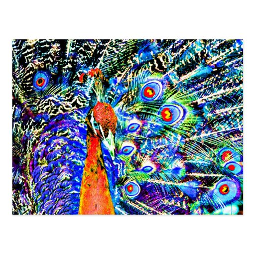 peacock and feathers orange artistic graphic postcards