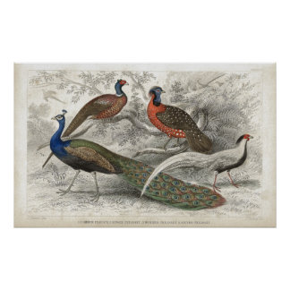 Peacock and Pheasants Antique Lithograph print