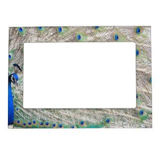 Peacock Bird Magnetic Frame