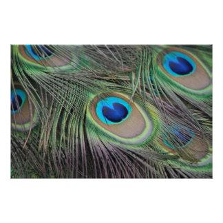 Peacock Bird Peafowl Photo Print