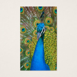 Peacock Blue Head with and Colorful Tail Feathers