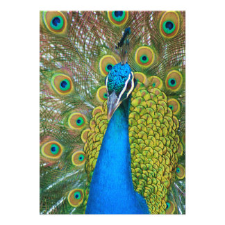 Peacock Blue Head with and Colorful Tail Feathers Invitations
