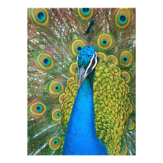Peacock Blue Head with and Colorful Tail Feathers Invites