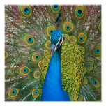 Peacock Blue Head with and Colourful Tail Feathers