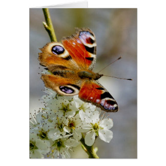 Peacock Butterfly - Butterfly On Hawthorn Flower - Greeting Card
