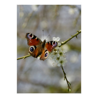 Peacock Butterfly - Butterfly On Hawthorn Flower - Poster