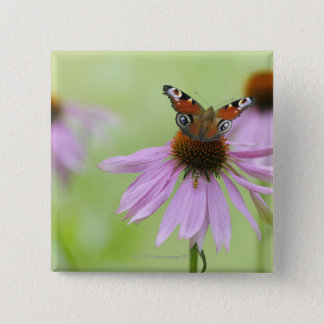 Peacock butterfly (Inachis io) drinking nectar 15 Cm Square Badge