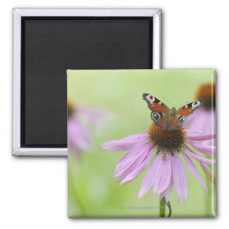 Peacock butterfly (Inachis io) drinking nectar Square Magnet