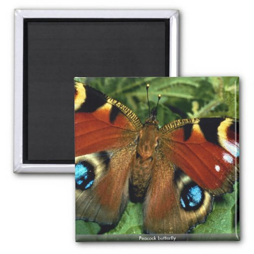 Peacock butterfly magnets
