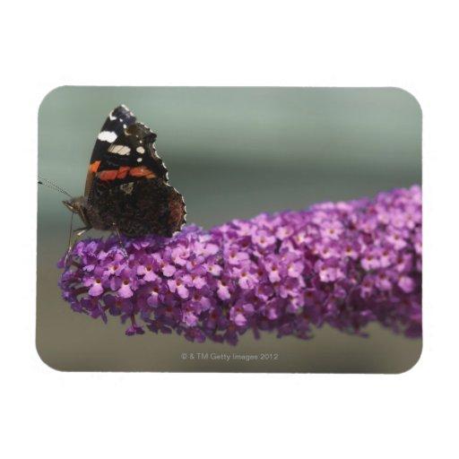 Peacock butterfly on flower vinyl magnet