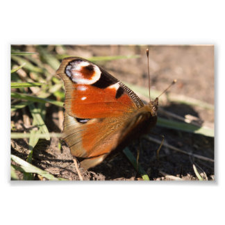 Peacock Butterfly Photo Print