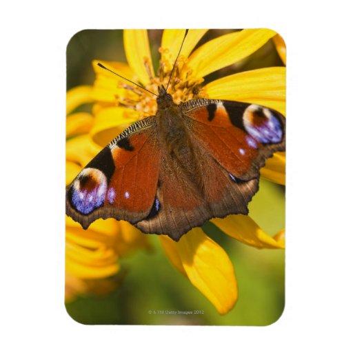 Peacock butterfly rectangular magnet