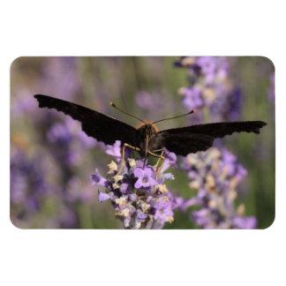 peacock butterfly sucking lavender nectar rectangular photo magnet