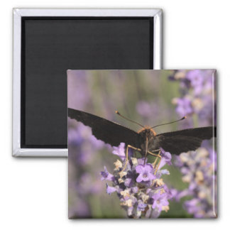 peacock butterfly sucking lavender nectar square magnet