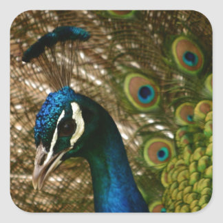 Peacock Closeup Square Sticker