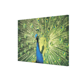Peacock displaying canvas print