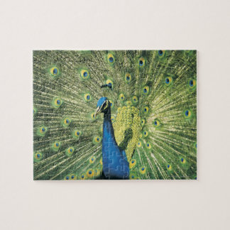 Peacock displaying jigsaw puzzle
