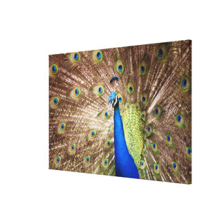 Peacock displaying plumage canvas print
