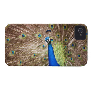 Peacock displaying plumage Case-Mate iPhone 4 case