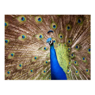 Peacock displaying plumage postcard