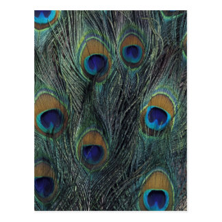 Peacock feather design postcard