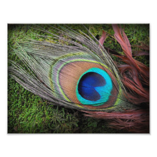 Peacock Feather on Green Moss Phototography Print