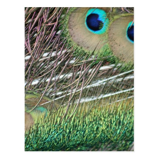 Peacock feathers close up peafowl design postcard