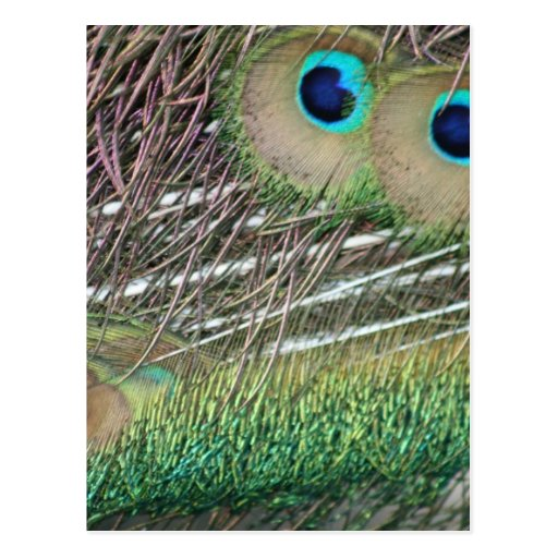 Peacock feathers close up peafowl design post cards
