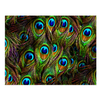 Peacock Feathers Invasion Postcard