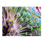 Peacock Feathers Postcards