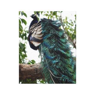 Peacock Greeting Canvas Print