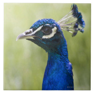 Peacock head large square tile